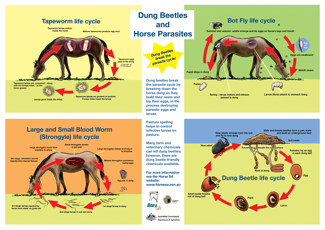 Parasite life cycle simon kneebone cartoonist and illustrator horsedung beetle lr poster ccuart Choice Image
